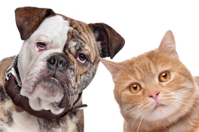 示意圖。狗和貓哪個比較聰明?美國一項新研究發現,狗的大腦皮質神經元數量是貓的超過2倍,而科學家認為神經元密度,與智力等整體認知能力有關。圖/ingimage