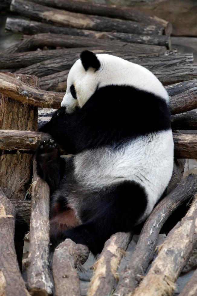 熊貓媽媽「歡歡」。(路透)