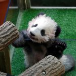 〈圖輯〉第一隻在法國誕生熊貓 「圓夢」