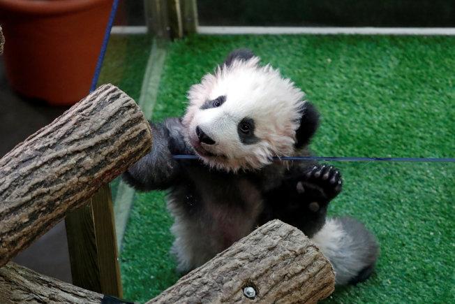 熊貓寶寶「圓夢」。(路透)