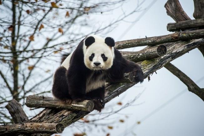 熊貓寶寶「圓夢」的爸爸「圓仔」。(歐新社)