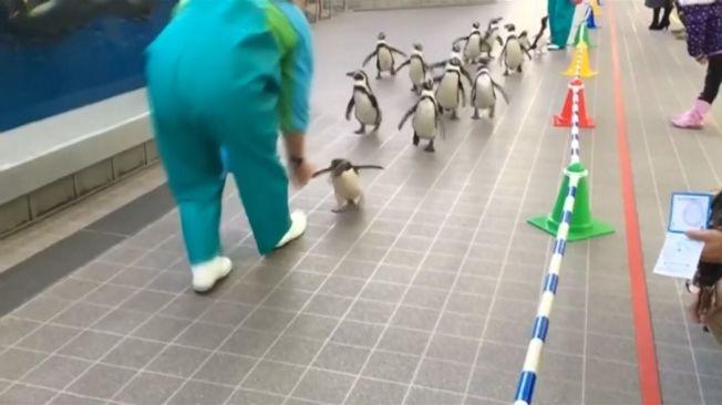 日本仙台海之杜水族館 企鵝餵食賽跑秀。路透