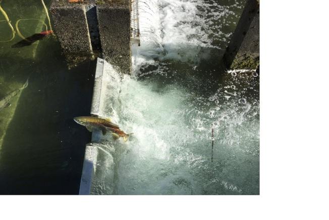 這應是鮭魚跳「龍門」。