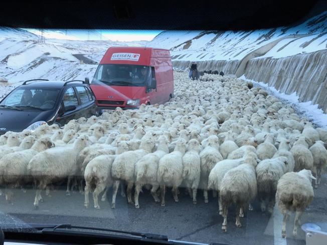 羊群逍遙地橫越大道。