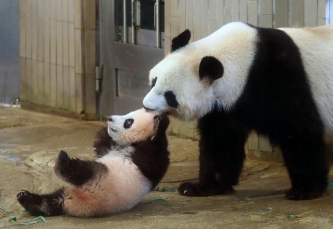 日本東京上野動物園19日首度讓剛滿6個月大的貓熊寶寶「香香」(左)跟媽媽「真真」(右)一起亮相見客,只見可愛的香香在展示場裡好奇地東看西看,媽媽一度用嘴巴把她叼回身邊。(美聯社)