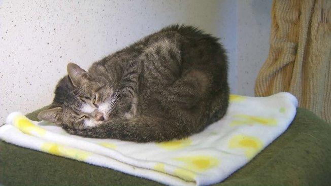 流浪至河濱縣的喬治亞州貓咪,在動物收容所半睡半醒萌樣。(KTLA電視台)