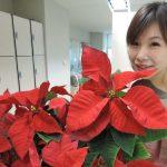應景植物聖誕紅 注意汁液有毒勿觸身