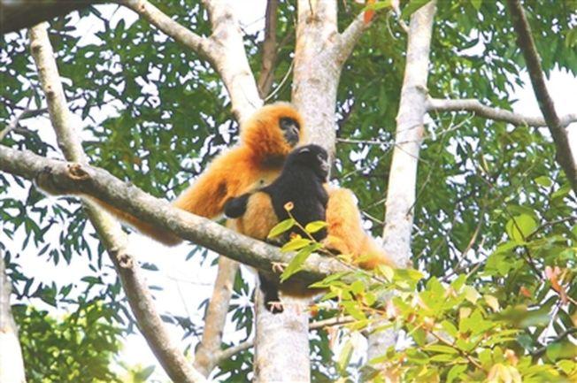 海南長臂猿一生中要變換幾次顏色,幾乎從不下樹。(取材自北京青年報)