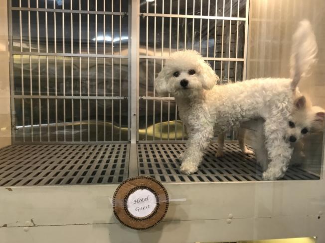 寵物狗節日期間被主人送到寵物店洗澡、住賓館。(記者俞姝含/攝影)