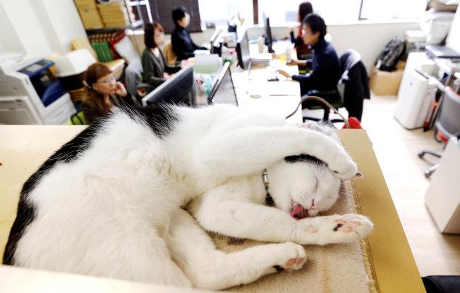 東京一家IT公司的寵物貓。路透