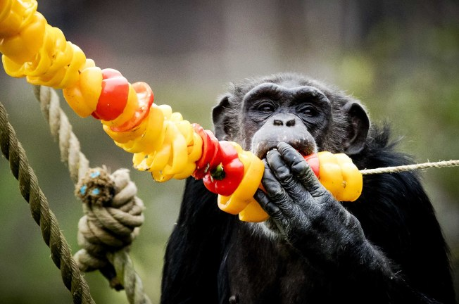 動物聖誕餐/荷蘭Hilvarenbeek野生動物園的明星動物大猩猩,開心地大吃圖方為牠特別準備的聖誕晚餐。(歐新社)