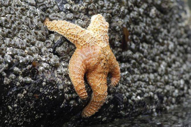 美國西海岸重現海星蹤跡。 美聯社