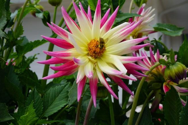 蜜蜂很喜歡大麗花的花蜜。
