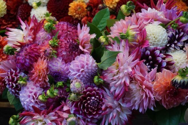大麗花的花顏豐富多彩,除了藍色,幾乎所有顏色都有。