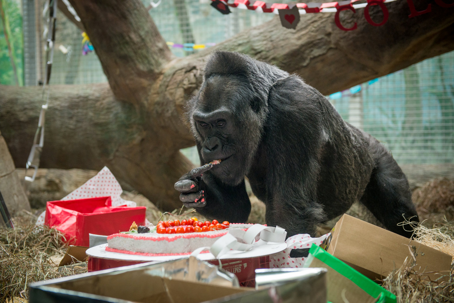 俄亥俄州哥倫布動物園去年12月22日為科洛舉辦60歲慶生會,牠是美國最長壽的大猩猩。(路透)
