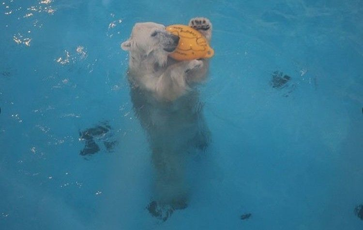 Maruru向牆壁丟球後,跳下水裡把球撿回來。(圖擷自朝日新聞中文網)