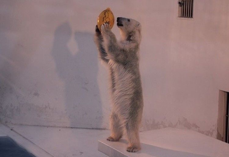 熊本市立動植物園受地震影響而休園整修,長期都沒有遊客前來,園內北極熊Maruru習慣獨自玩球來排解寂寞。(圖擷自朝日新聞中文網)