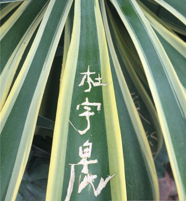 成都植物園龍舌蘭被刻上名字。(取材自成都商報)