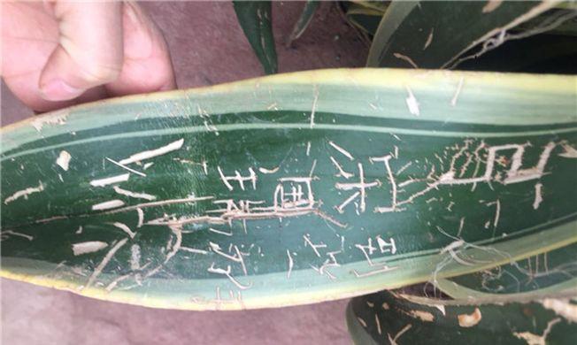 成都植物園龍舌蘭被刻字。(取材自成都商報)