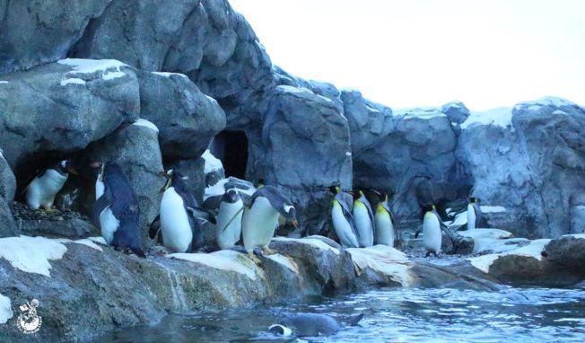 加拿大卡加利動物園豢養的國王企鵝不像他們的近親皇帝企鵝那樣習於低於零度的氣溫。(取材自加拿大卡加利動物園官網)