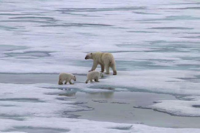 北緯80度附近,發現三隻北極熊。(取材自華西都市報)