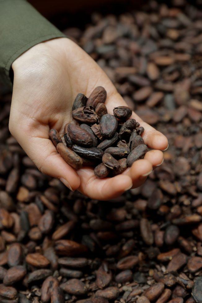 專家指出,巧克力製造原料可可有從地球上消失的危機。(Getty Images)