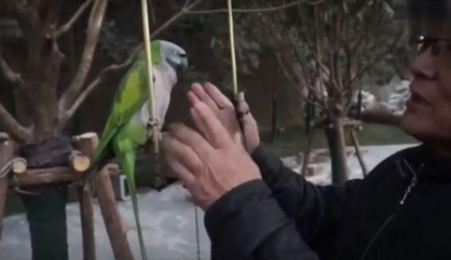 中國陝西西安一隻名叫「翠翠」的鸚鵡,不僅會說80多句話,還會講英語。圖/取自影片