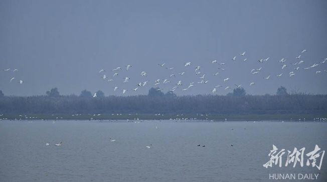 漢壽縣西洞庭湖國家級自然保護區核心區,黑楊被清除,越冬候鳥在水面翱翔。(取材自華聲在線)