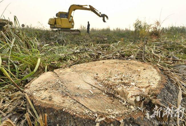 漢壽縣西洞庭湖國家級自然保護區核心區,黑楊全部被砍伐,工人正在清運。(取材自華聲在線)
