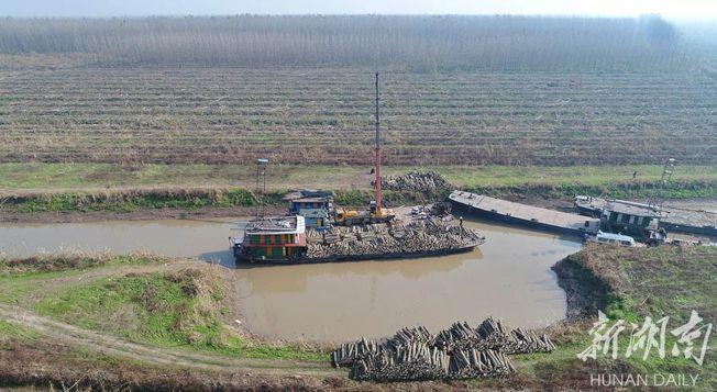 沅江市茅普洲,貨輪正在裝運黑楊木,遠處是成片密密麻麻的黑楊林。(取材自華聲在線)