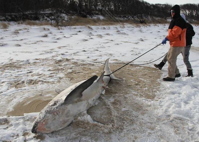 波士頓地區創紀錄寒冬致數條鯊魚在鱈魚角海域冷休克擱淺死亡。(取自大西洋大白鯊保護區臉書)