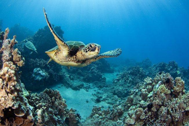 受到暖化影響,研究報告發現,在澳洲大堡礁北部近20萬隻綠蠵龜「清一色」為雌性。(取材自香港01/VCG圖)