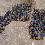 雪梨高溫攝氏47.3度 澳洲狐蝠活活熱死墜落