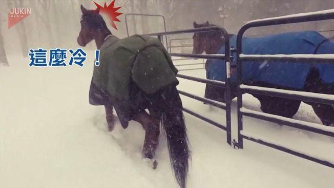 屋外下大雪冷到爆,放風馬兒後悔踏出馬廄,飛奔回頭避寒去。美聯/Jukin Media