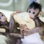 〈圖輯〉大突破!中國用桃莉羊技術 複製出2隻「克隆猴」