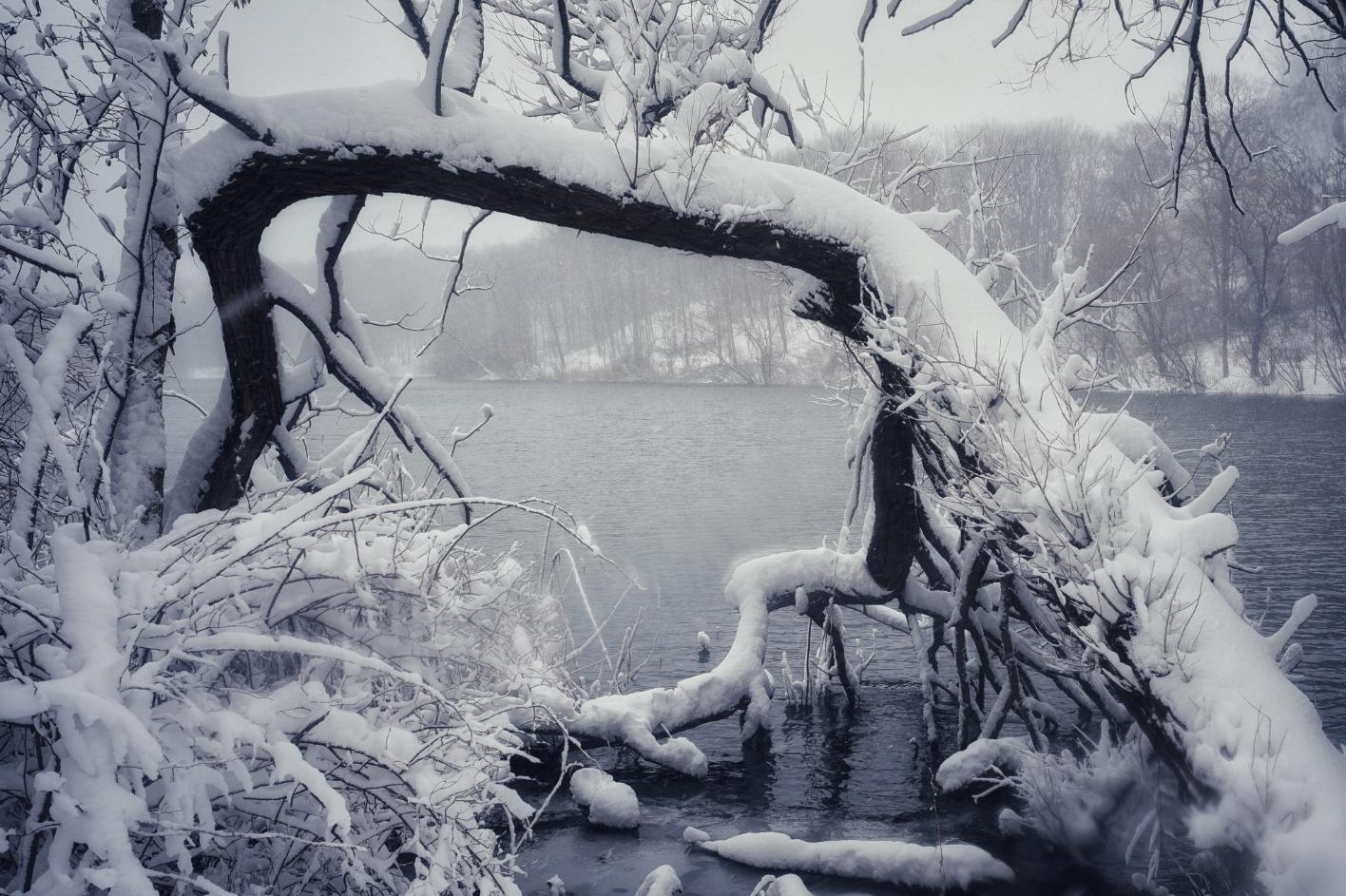 倒塌的活樹,它依然生長在湖邊的泥土裡,暴風雪中更顯壯觀。(網友笨小孩@紐約皇后區Oakland Lake)
