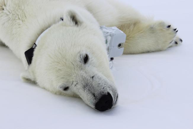 全球暖化讓北極熊難以覓食,致使在本該長胖的季節體重降低。(美聯社)
