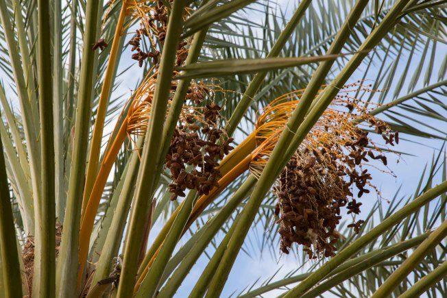 中國椰棗農場 尋綠洲美食