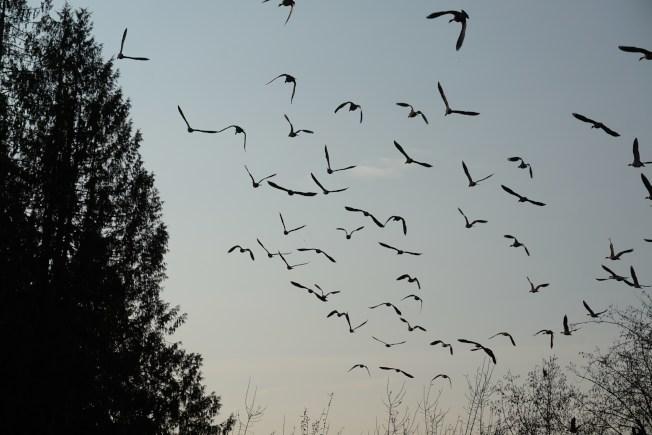 待我回过神来,对着旋风般展翅高飞的大雁又一次按下快门时,牠们已经飞远了。