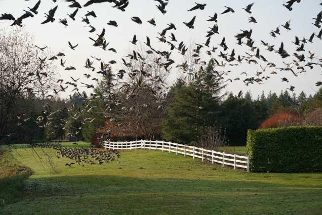 牠们拍打着翅膀,轰的一声,腾飞而去,鸣叫声响彻云霄。