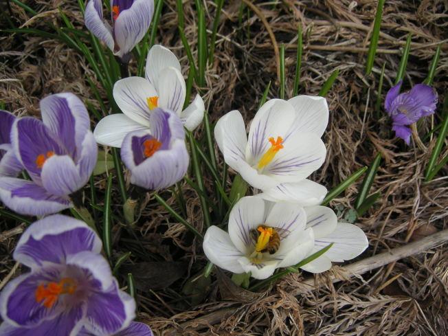一袭白衣的荷兰番红花仙女同样亦是蜜蜂的最爱。