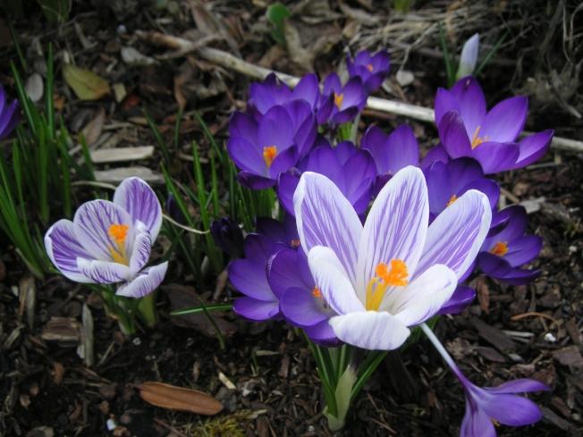 早春绽放的番红花艳丽、娇柔、温馨,却和雪莲花一样抗寒、傲霜。