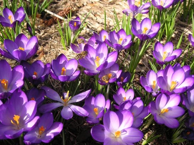 荷兰番红花浓郁的芬芳诱惑得冬眠的蜜蜂于2月底就离开它们的巢。