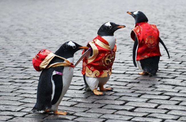 2月10日,3隻來自哈爾濱極地館的企鵝身著「唐裝」在哈爾濱中央大街上「走秀」。 當日,為迎接即將到來的新春佳節,黑龍江省哈爾濱極地館的工作人員在哈爾濱市百年老街中央大街上組織了一場企鵝「唐裝秀」活動。(新華社)