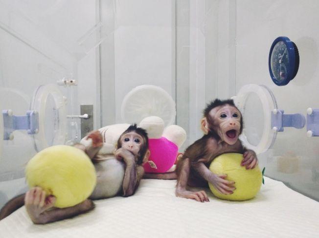 去年誕生的克隆獼猴中中、華華。(新華社資料照片)