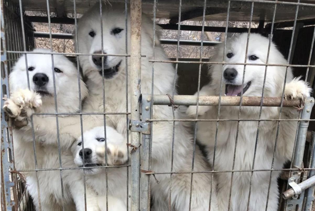 南韓平昌冬奧場內熱鬧,場外卻有10家店家不顧政府規勸,繼續販賣狗肉。(取材自HSI)