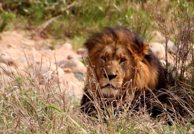 南非男子盜獵不成 遭獅群咬死碎屍