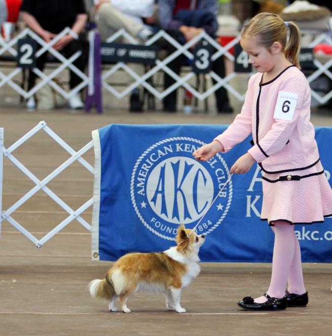 在一年一度的西敏狗展比賽中,許多年輕馴狗師也登場展現調教狗並與成年人競爭的本事。(美聯社)