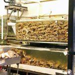 春節將至 華埠肉蟹新鮮又便宜