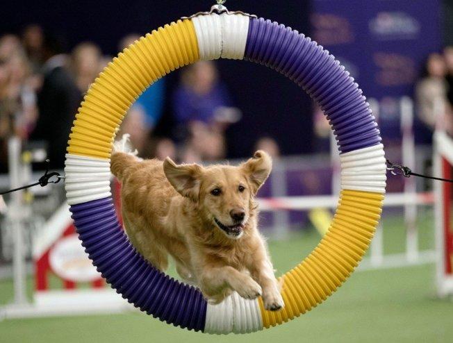 西敏寺狗展12日於紐約登場,超過2800隻毛小孩爭奪冠軍頭銜。美聯
